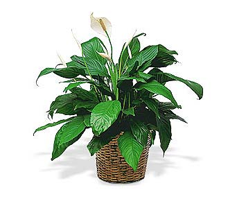 Medium Spathiphyllum Plant in Westminster CA, Dave's Flowers