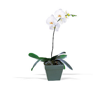 Phalaenopsis Orchid Plant in Norristown PA, Plaza Flowers