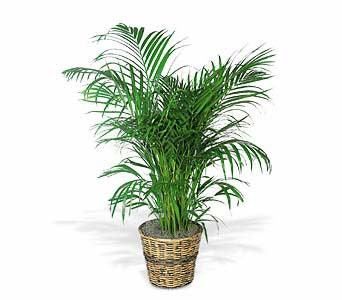 Areca Palm in Norristown PA, Plaza Flowers