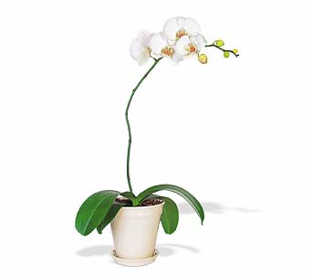 White Phalaenopsis Orchid in Norristown PA, Plaza Flowers