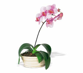 Lavender Phalaenopsis Orchid in Norristown PA, Plaza Flowers