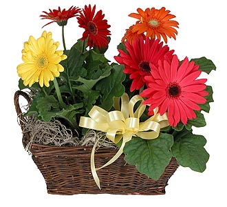 Four Gerbera Daisy Plants in a Basket in Towson MD, Radebaugh Florist and Greenhouses