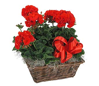 Four Geraniums in a Basket in Towson MD, Radebaugh Florist and Greenhouses