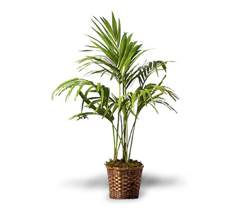 OT112-5 Areca Palm in Oklahoma City OK, Array of Flowers & Gifts