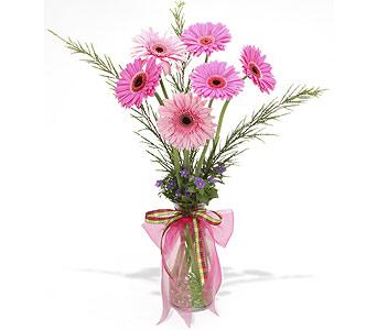 Pink Gerber Daisies - Englewood Colorado