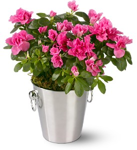 Adorable Azalea in Indianapolis IN, Berkshire Florist