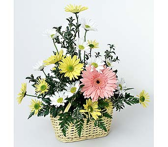 Spring Daisies in Indianapolis IN, Gillespie Florists