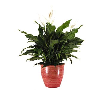 Spathiphyllum in a Ceramic Pot in Towson MD, Radebaugh Florist and Greenhouses