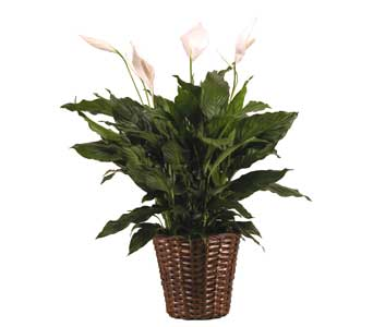 Spathiphyllum in a Basket in Towson MD, Radebaugh Florist and Greenhouses
