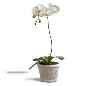 Phalaenopsis Orchid in Rock Island IL, Colman Florist