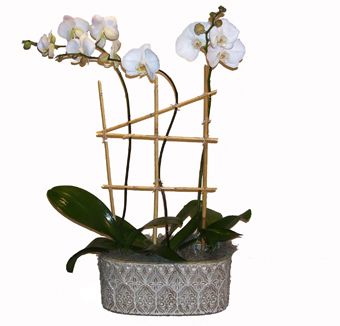 Triple Phalaenopsis Orchid Plant in Washington DC, Greenworks By Shane