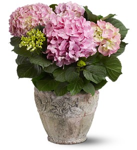 Pink Hydrangea Plant in Guelph ON, Patti's Flower Boutique
