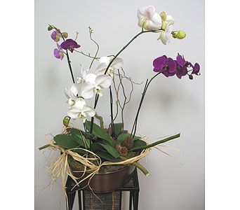 Orchids in Tampa FL, Buds Blooms & Beyond