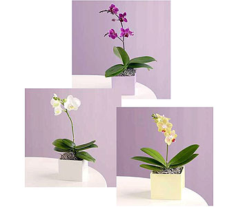 Orchid Plant Designer's Choice in Boston MA, Exotic Flowers