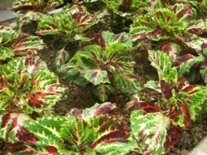Kong Mosaic Coleus in Oklahoma City OK, Morrison Floral & Greenhouses