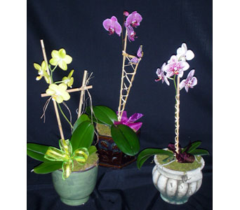 Six Inch Phalaenopsis Orchid Special in Newport News VA, Pollards Florist