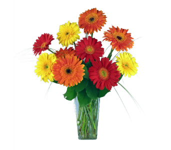 Bright Gerbera Daisies in Indianapolis IN, 317 Flowers
