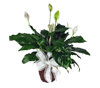 Peace Lily Plant in Indianapolis IN, 317 Flowers