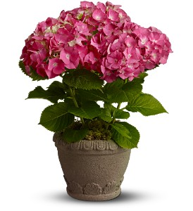 Teleflora's  Heavenly Hydrangea in Santa Monica CA, Edelweiss Flower Boutique
