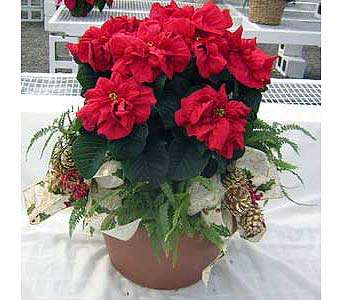 Winter Rose Poinsettia in Boston MA, Exotic Flowers