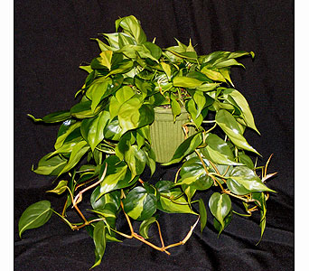 Variegated Philodendron in Ferndale MI, Blumz...by JRDesigns