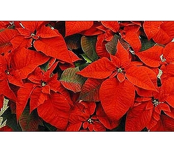 Poinsettias in Ajax ON, Reed's Florist Ltd
