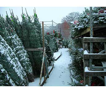 Christmas trees in Brooklyn NY, David Shannon Florist & Nursery