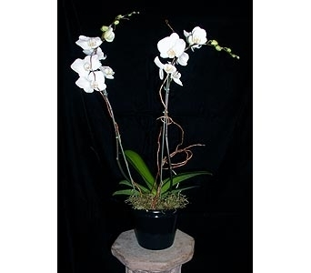 2 Spike  Phalaenopsis Orchid in Concord CA, Jory's Flowers