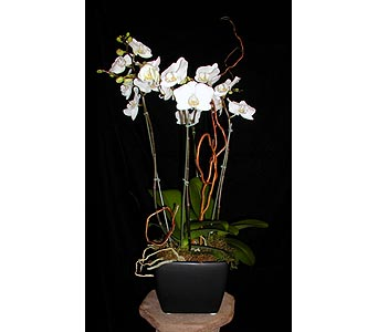 4 Spike Phalaenopsis Orchid in Concord CA, Vallejo City Floral Co