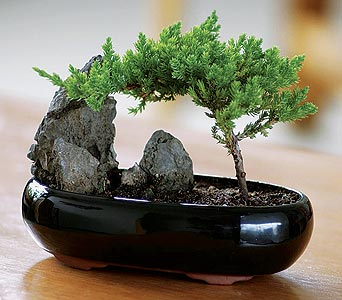 Shogun Juniper Bonsai in Provo UT, Provo Floral, LLC
