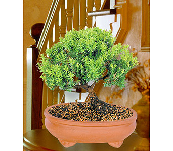 Green Mound Juniper Bonsai in Provo UT, Provo Floral, LLC