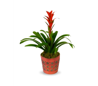 Exotic Bromeliad in Indianapolis IN, McNamara Florist