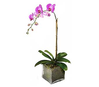 Lavender Phalaenopsis Orchid in Palm Springs CA, Palm Springs Florist, Inc.