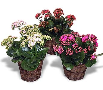 Kalanchoe in La Jolla CA, Adelaide's Florists and Decorators