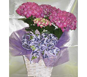 PURPLE/PINK HYDRANGEA in Lindale TX, Lindale Floral Shop
