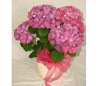 Hydrangea Plant in Coplay PA, The Garden of Eden
