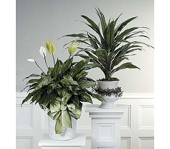 Spathiphyllum Plant/Dracaena Plant in West Bloomfield MI, Happiness is...Flowers & Gifts