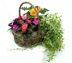 Tyler's Pick: Mixed Annual Plant Basket in North Adams MA, Mount Williams Greenhouses, Inc.