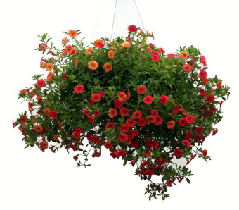 Chad's Pick: Sunny Hanging Annual Basket in North Adams MA, Mount Williams Greenhouses, Inc.