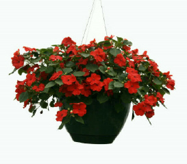 Chad's Pick; Shady Hanging Annual Basket in North Adams MA, Mount Williams Greenhouses, Inc.