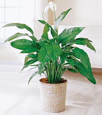 Peace Lily Plant in Hunt Valley MD, Hunt Valley Florals & Gifts