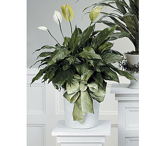 Peace Lily Plant in Webster TX, NASA Flowers