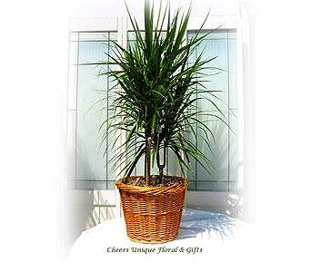 Dracaena Marginata in Lake Forest CA, Cheers Floral Creations