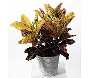 Tropical Croton Plant in Southfield MI, Thrifty Florist