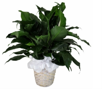 Tropical Peace Lily Plant in Southfield MI, Thrifty Florist