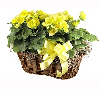Double Rieger Begonia Basket in Towson MD, Radebaugh Florist and Greenhouses