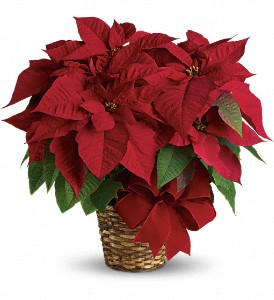 Poinsettia Plant in Southampton PA, Domenic Graziano Flowers