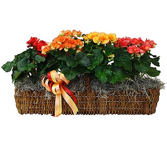 Rieger Begonia Canoe Basket in Towson MD, Radebaugh Florist and Greenhouses