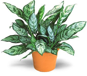 Chinese Evergreen in Hendersonville TN, Brown's Florist