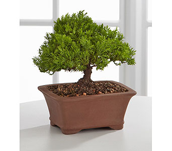 Peace & Harmony Juniper Bonsai - 6 inch in Provo UT, Provo Floral, LLC